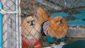 Three Purebred Little Dogs Bark Viciously Behind The Fence Of The Grid In A Cage On The Street Slow Motion Stock Video C Video Rost 185919712