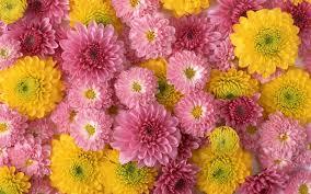 الأقحوان زهور براعم الأصفر زهري تكوين عالية الدقة سطح