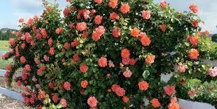 caring for roses a beginner s rose