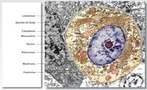 Resultado de imagen de Las célula vista al microscopio electrónico