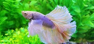 View Aquarium Betta Fish Care Gif