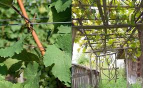 How To Trellis Grape Vines So They Produce Fruit For 50 Years