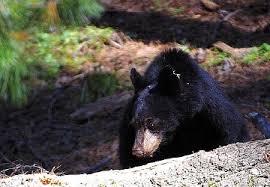 Baby black bear dies after being hit by car | KRCG