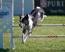 Razzle the Border Collie at the PIDC - Dog Agility Photo (8642338 ...