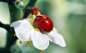 ladybird wallpapers hd desktop and