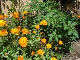 marigolds for pest control thriftyfun