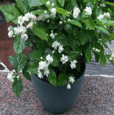 cara menanam tanaman hias bunga melati di dalam pot