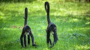 spider monkeys the beach tulum hotel