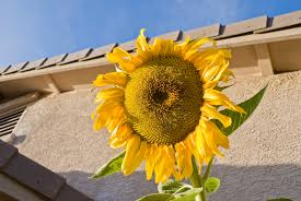 sunflower surprise at gardens by the