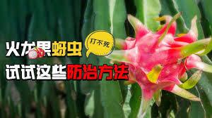 火龙果蚜虫的防治方法_蜜蜂TV-梨视频官网-Pear Video