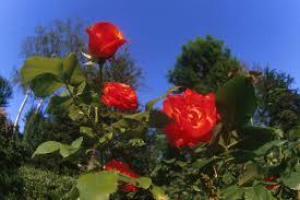 كل الورود في جمالك تعاتب وتقول وش من جمالنا خليت ورود بساتين