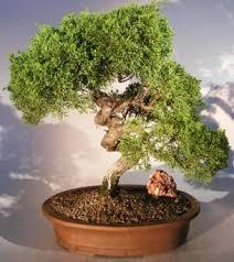 shimpaku juniper bonsai tree trained