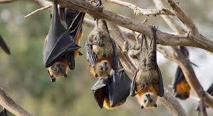 Por qué los murciélagos se cuelgan boca abajo? - EcoDiario.es