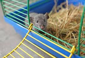 jeux pour rat fait maison 5 idées