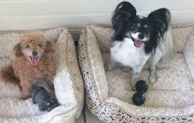 honolulu hi papillon dog for adoption
