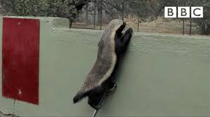 stoffle the badger that can escape