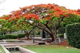 the 5 best trees for brisbane gardens