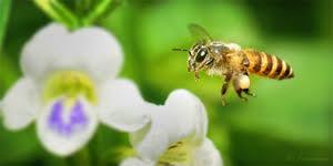manusia lebah vs manusia lalat agni s angsari