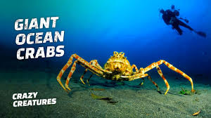 The Giant Japanese Spider Crab - YouTube