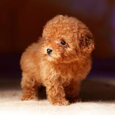 poodle puppies from vetted