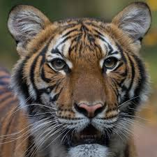 Tiger at Bronx Zoo Tests Positive for ...
