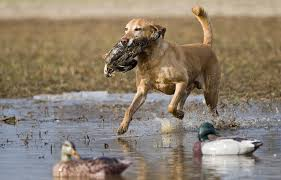 Cold Wet Weather Promises Strong Start To Kentucky Waterfowl Season Clarksvillenow Com