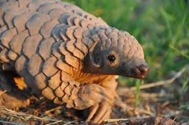 Pangolins Finally Get Protection With A Total Trade Ban