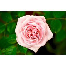 beautiful roses images for dp