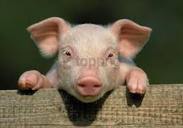 face hooves little pig pig wallpaper