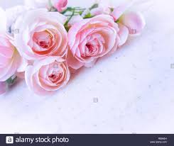 Rosas Rosas Aislado Sobre Fondo Blanco En Tono Azul Perfecto Para