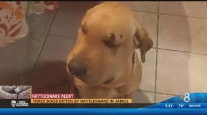Rattlesnake Alert: Three dogs bitten by rattlesnake in Jamul | cbs8.com