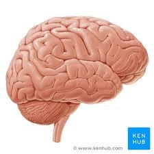cerebrum and cerebral cortex anatomy