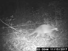 Raccoon Vs Electric Fence Youtube