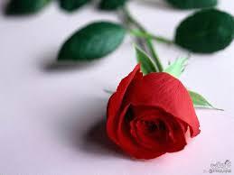اجمل وردة حمراء رومانسية احلي ورود باللون الاحمر رسائل حب