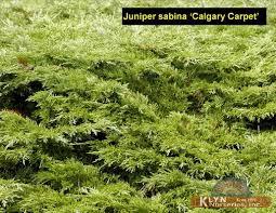 juniperus sabina calgary carpet klyn
