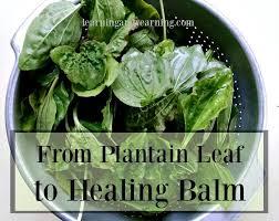 Plantain Leaf Healing Balm | Recipe | Healing herbs, The balm, Natural  remedies