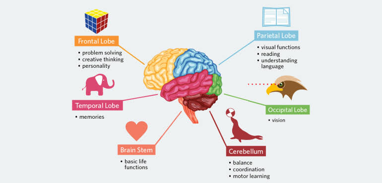 Image result for human brain facts