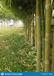 Landscape Of A Bamboo Garden Fence In The Garden Stock Photo Image Of Jungle Forest 177992716