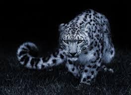 snow leopard black and white posture