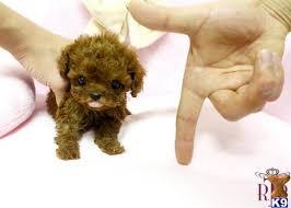 precious micro poodle teacup