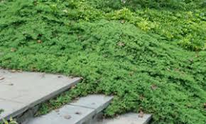 dwarf japanese garden juniper 12 plants