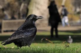 lawn grubs may be feeding birds and animals
