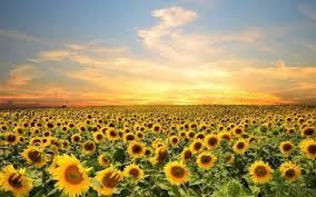 sunflower field flowers nature