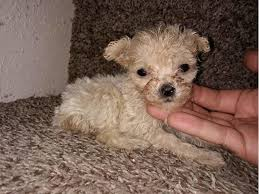toy poodle puppies s