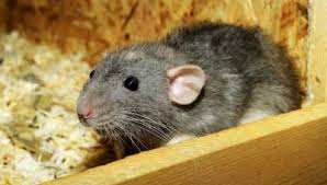 How to Protect Your Electrical Wiring from Rodents This Winter