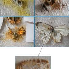 photos showing damaged insects and