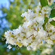 3 Gal. Natchez White Crape Myrtle-CRMNAT03G - The Home Depot