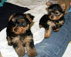 show quality yorkshire terrier pups