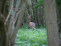 Lets have a look at Roe Deer. – Woodland Ways Blog – Bushcraft and ...