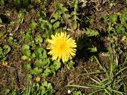 menanam dandelion kuning flatweed